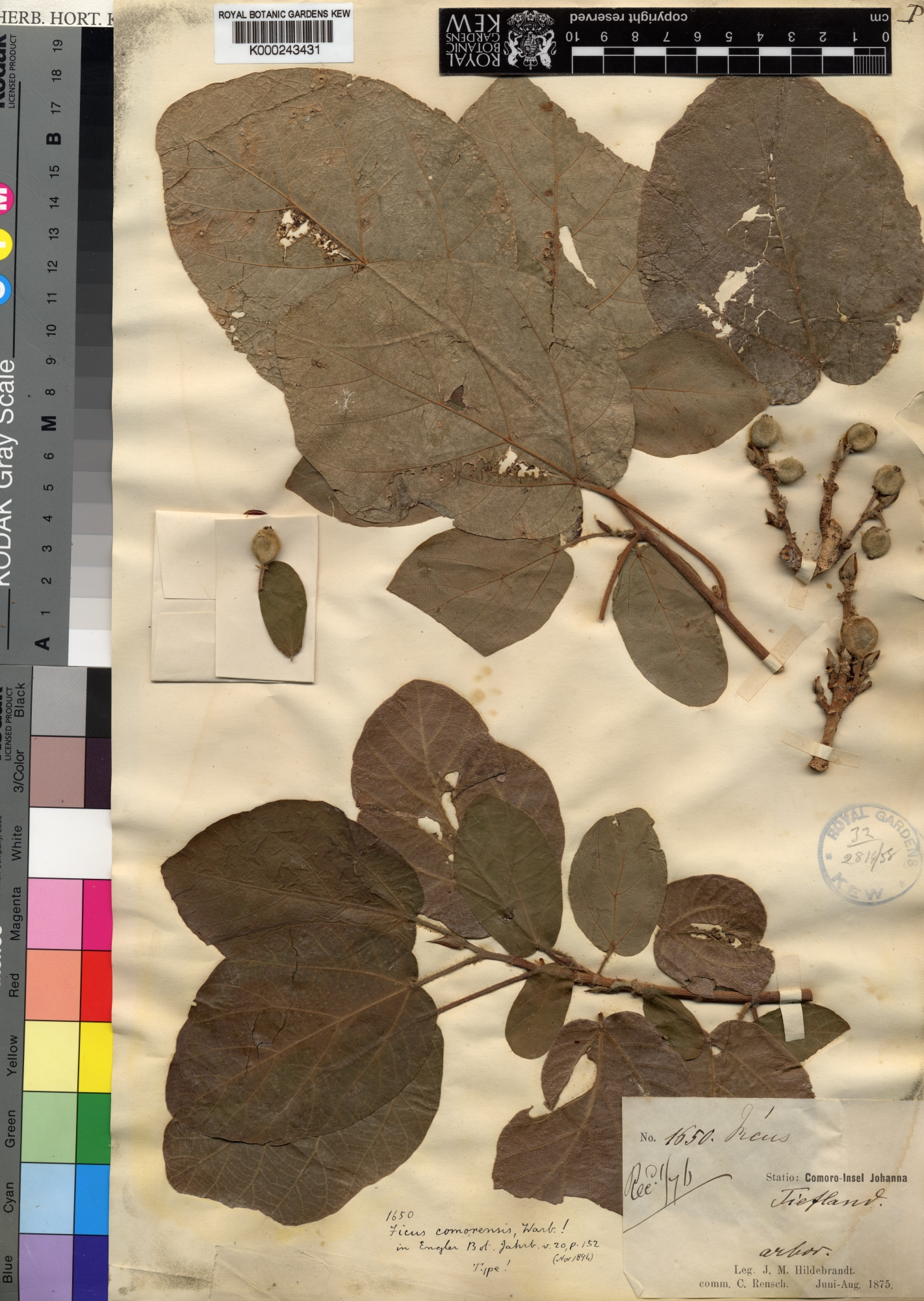 Typification of the name of the Afrotropical sycomore fig <i>Ficus ...