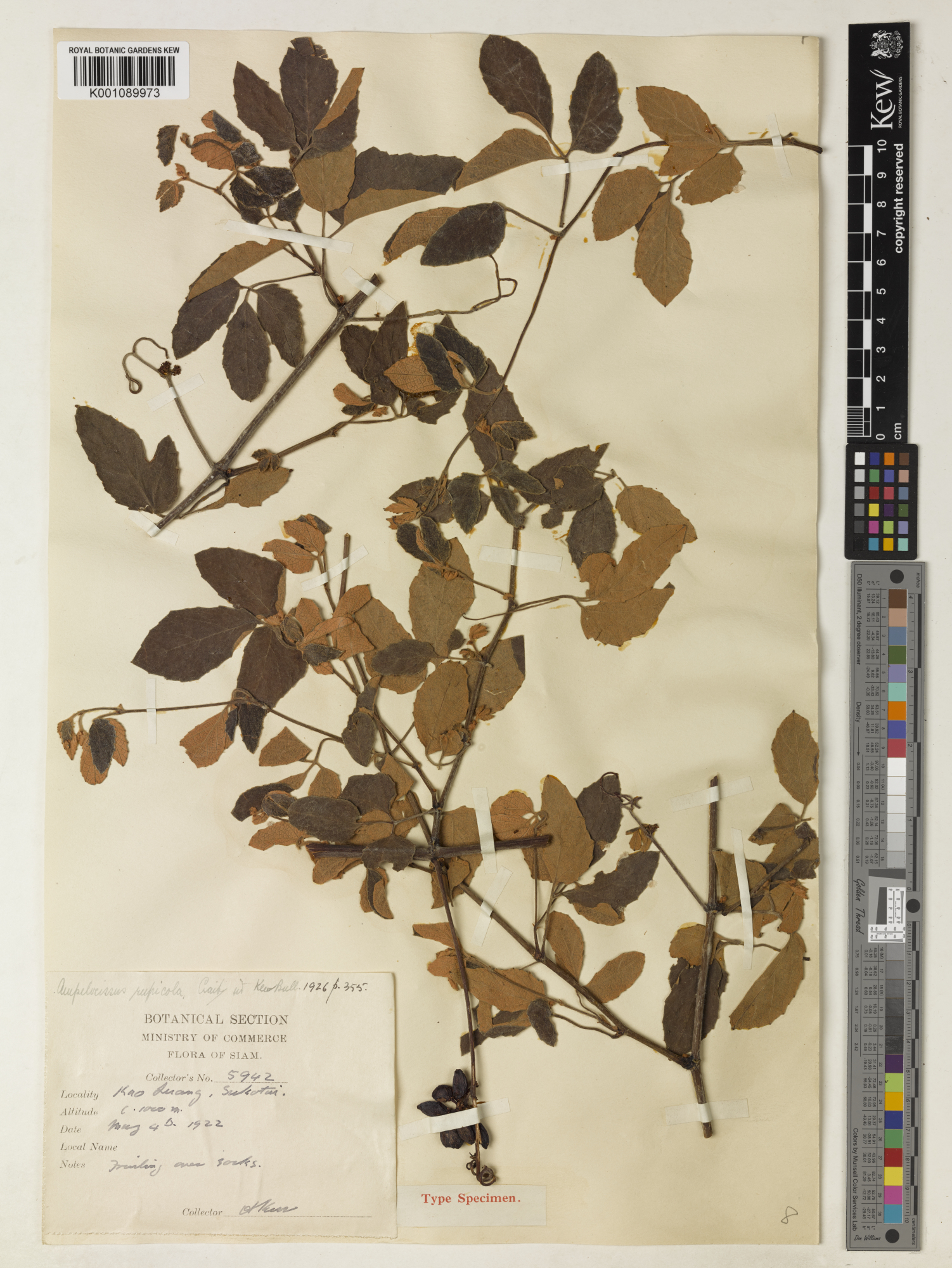 Nomenclatural notes on species of Asian Vitaceae