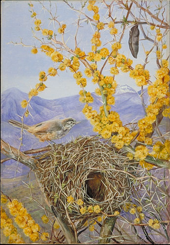 paintings of birds nests. Armed Bird#39;s Nest in Acacia