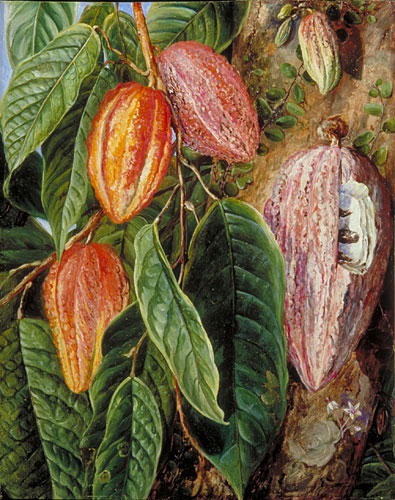 Flowers and Fruit of the Cocoa Tree, painted at Singapore