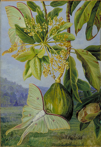 Kew Marianne North Gallery Painting 608 The Avocado Or