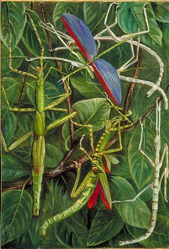 Leaf-Insects and Stick...