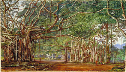 Kew Marianne North Gallery Painting 677 Old Banyan