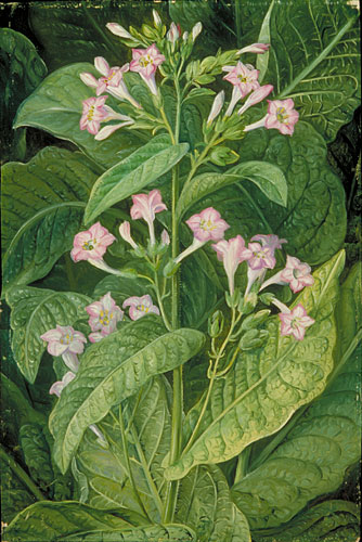 Kew Marianne North Gallery Painting 2 Common Tobacco