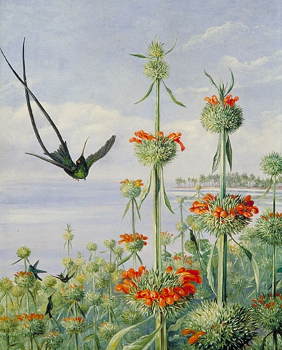 Kew Marianne North Gallery Painting 124 Leonotis