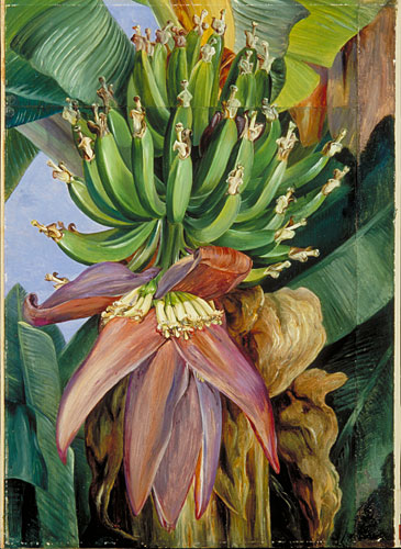 Kew Marianne North Gallery Painting 225 Flowers And