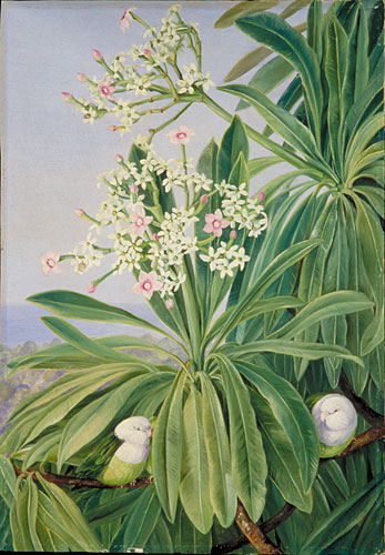 Kew Marianne North Gallery Painting 358 Ordeal Plant Or