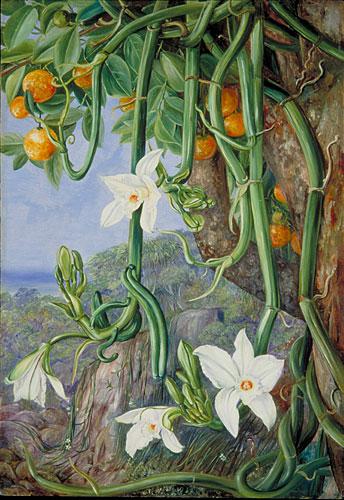 Kew Marianne North Gallery Painting 497 Native Vanilla