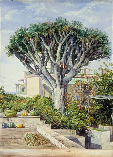 Kew Marianne North Gallery Painting 506 Dragon Tree At