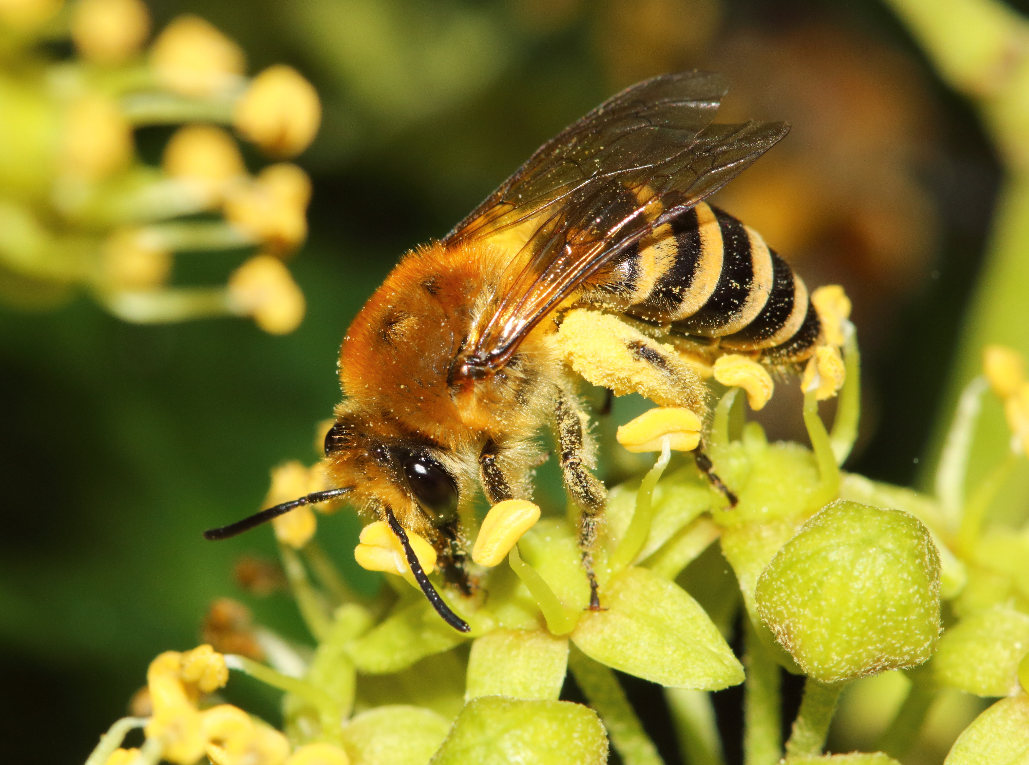 Ivy bees, Colletes hederae (female) in Kew Gardens
