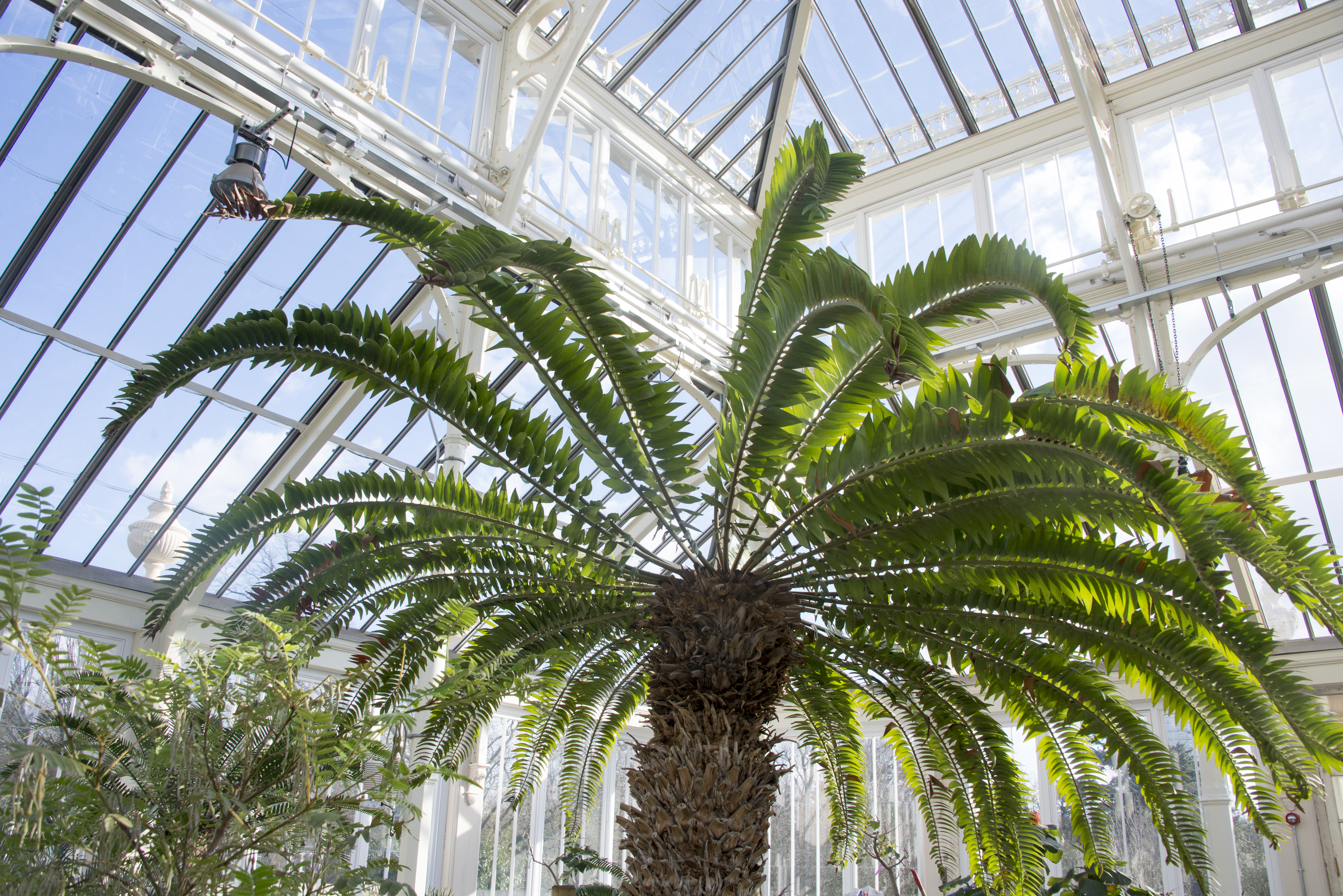 Encephalartos Woodii in the Temperate House, RBG Kew / Jeff Eden