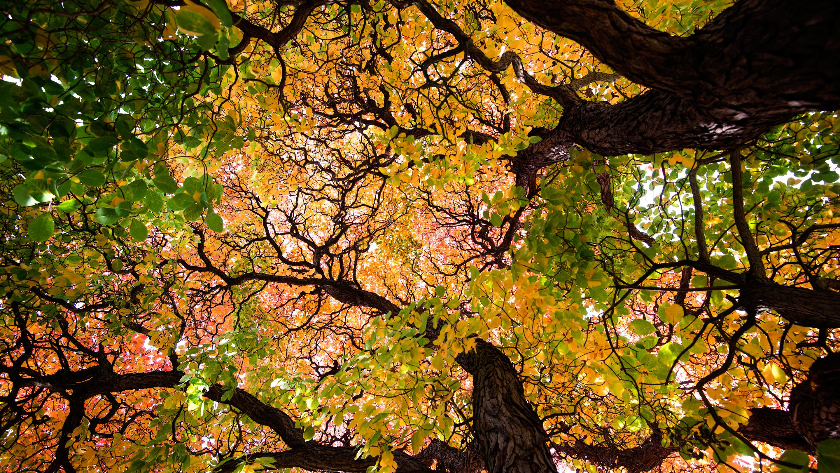 Brightly coloured autumn leaves in a tree canopy