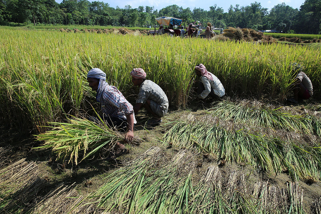 Workers in rice production, Crop Wild Relatives