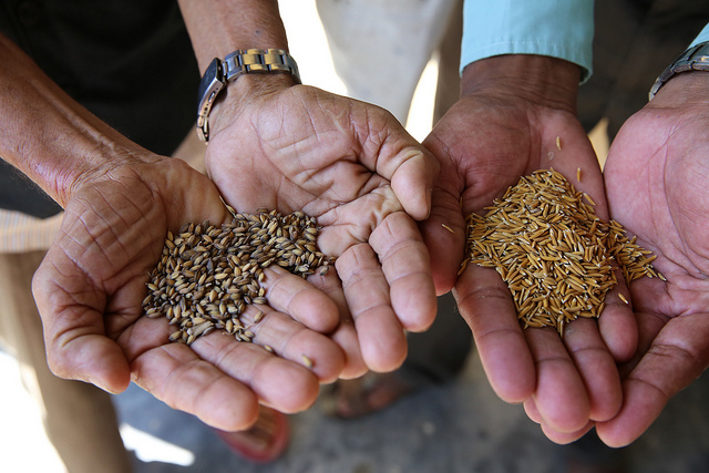 Rice seeds in hands, Nepal