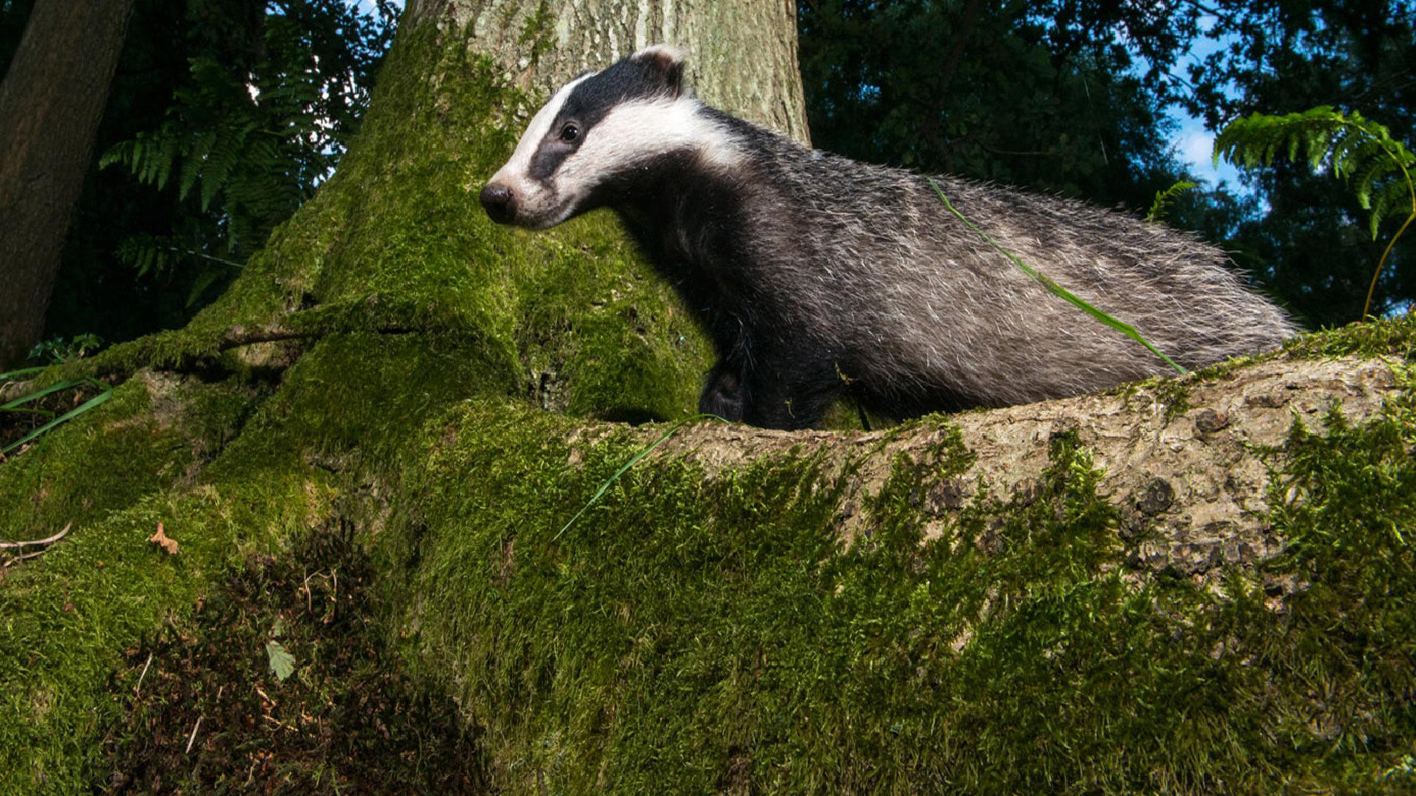 Badger walking over a tree root