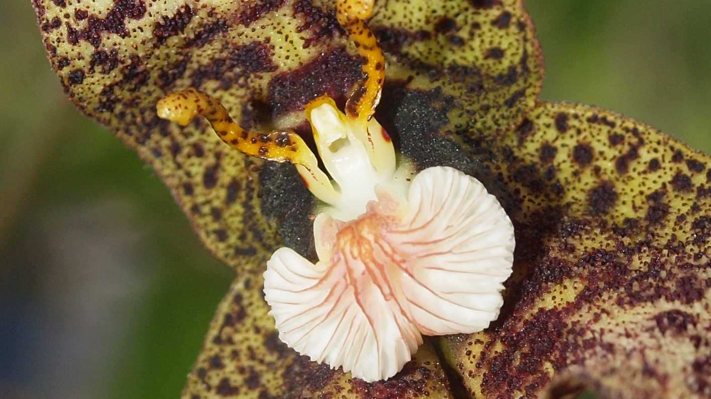 The Dracula orchid in Colombia
