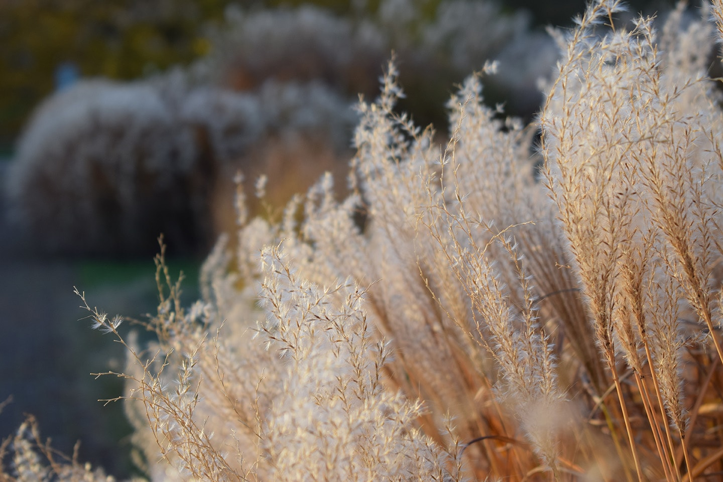 Close-up of grasses in the Grass Garden at Kew