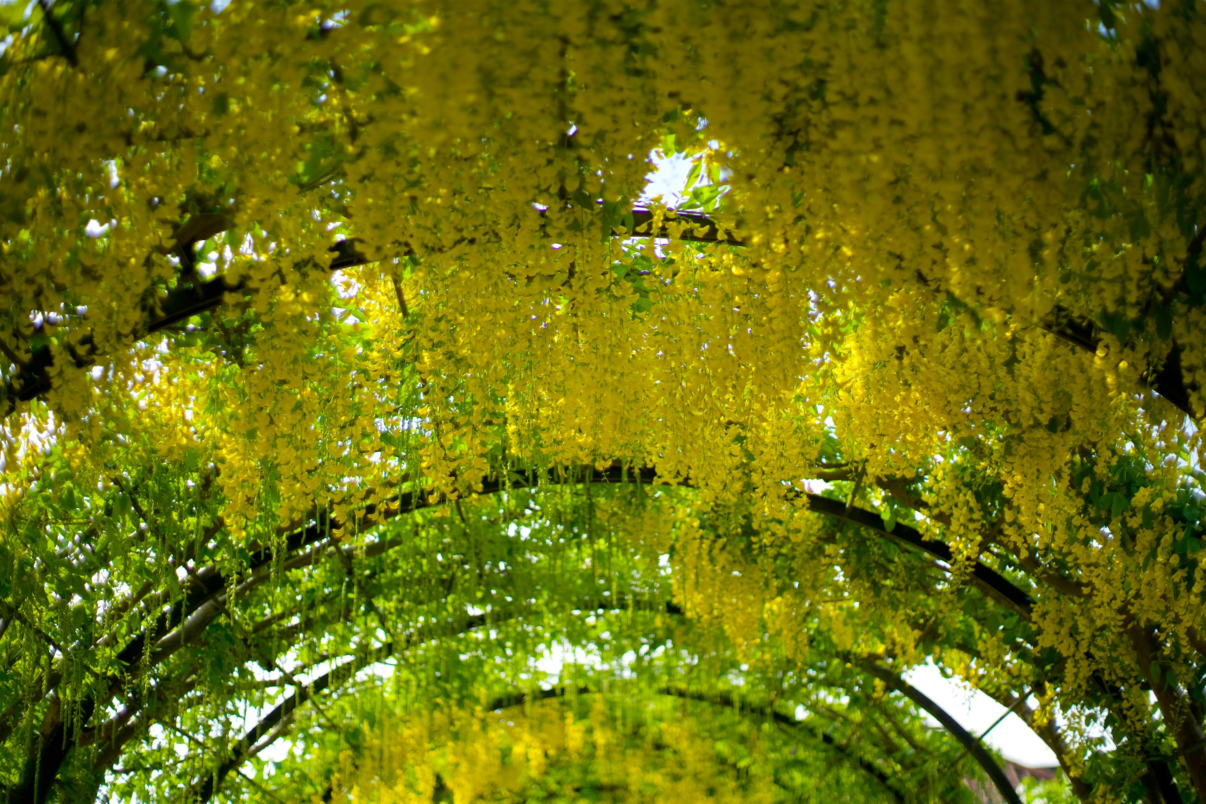 Golden yellow petals of the laburnum pergola