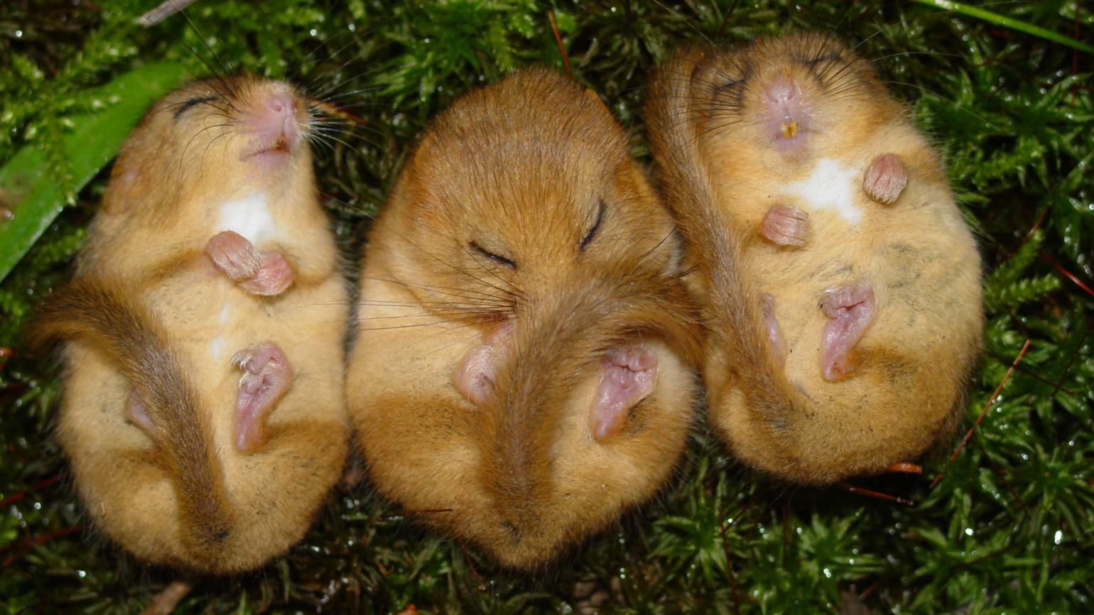 Resting dormice in the Loder Valley Nature Reserve