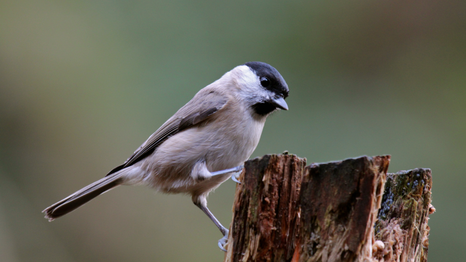 A Marsh tit in the Loder Valley Nature Reserve