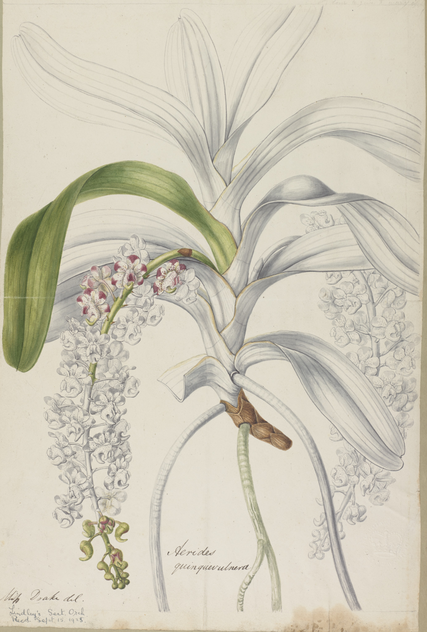 A plate for Sertum Orchidaceum entitled Aerides quinquevulnera by Sarah Anne Drake (1803 – 1857)
