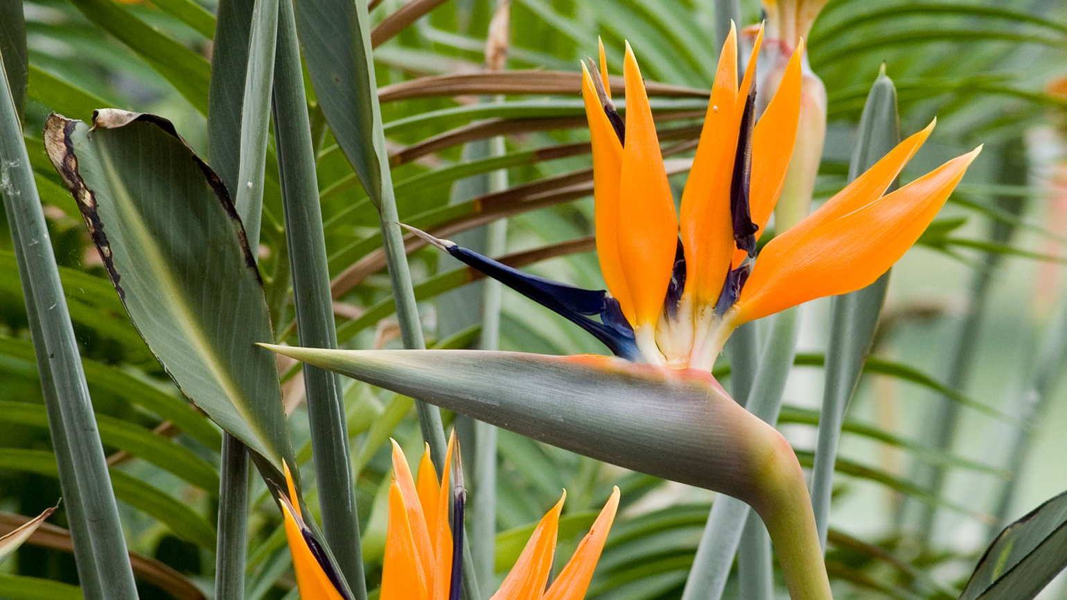 Close up of colourful bird of paradise (Strelitzia reginae) flower