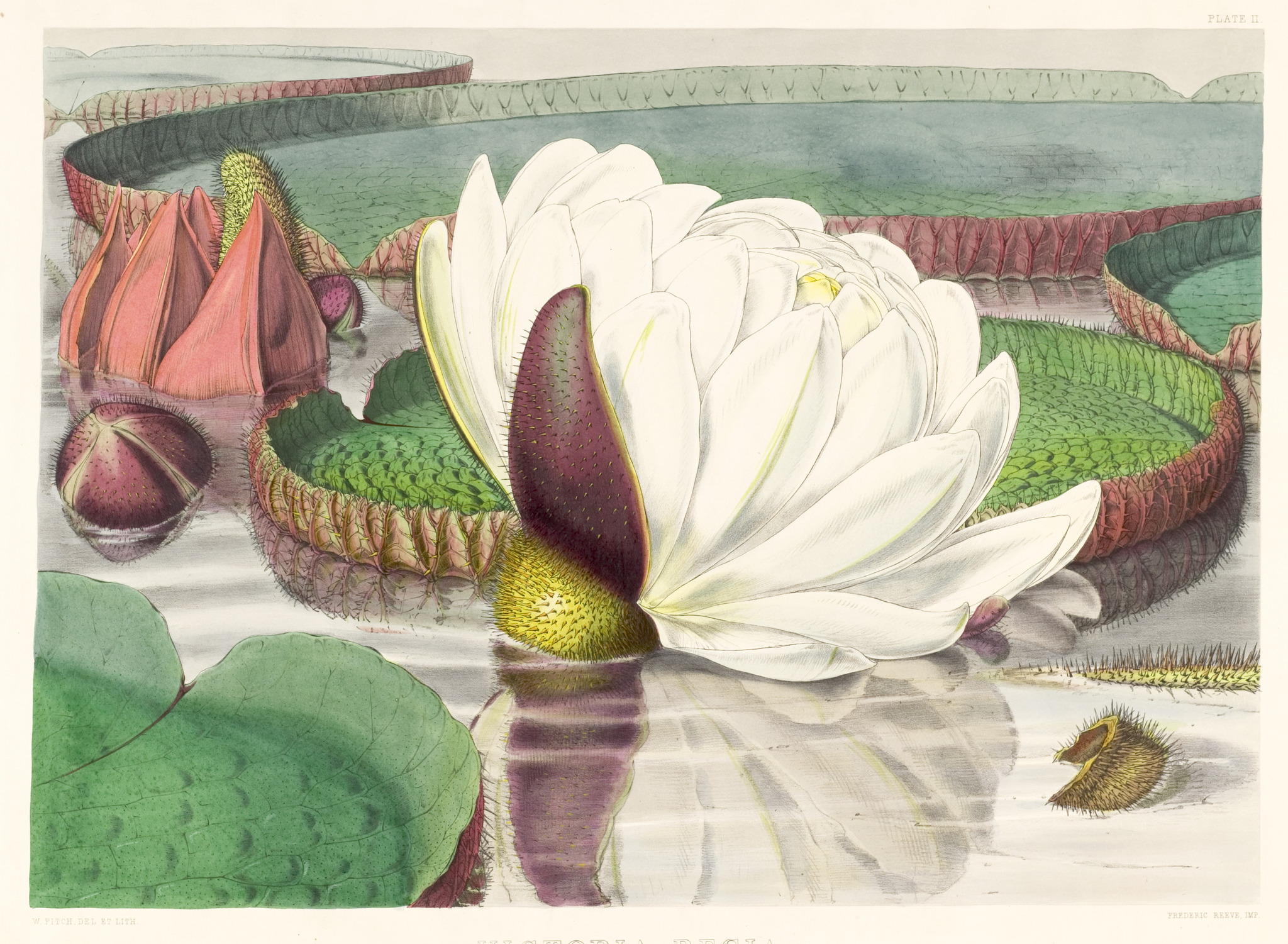 Victoria amazonica illustration