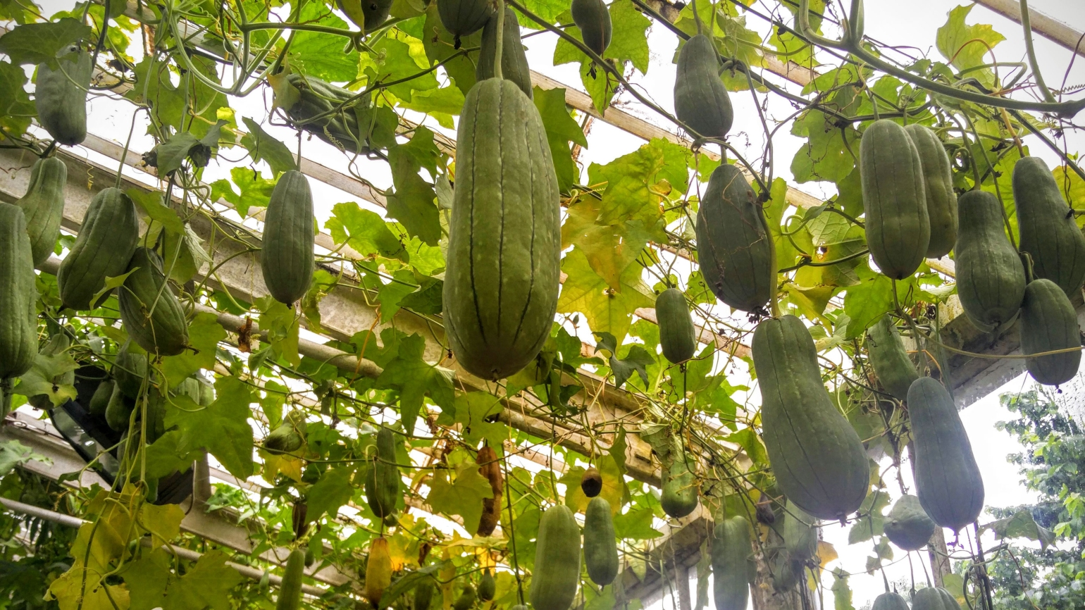 Gourds hanging in the Waterlily House