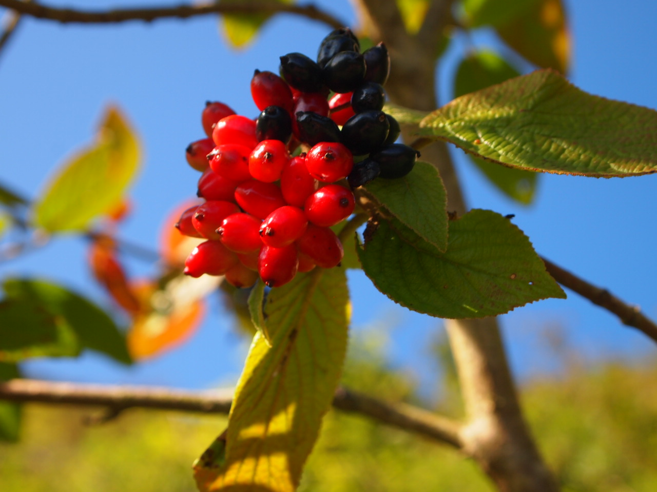 Fruits of the wayfaring tree (Viburnum lantana) – haute cuisine for rodents. Image © RBG Kew / Alice Hudson