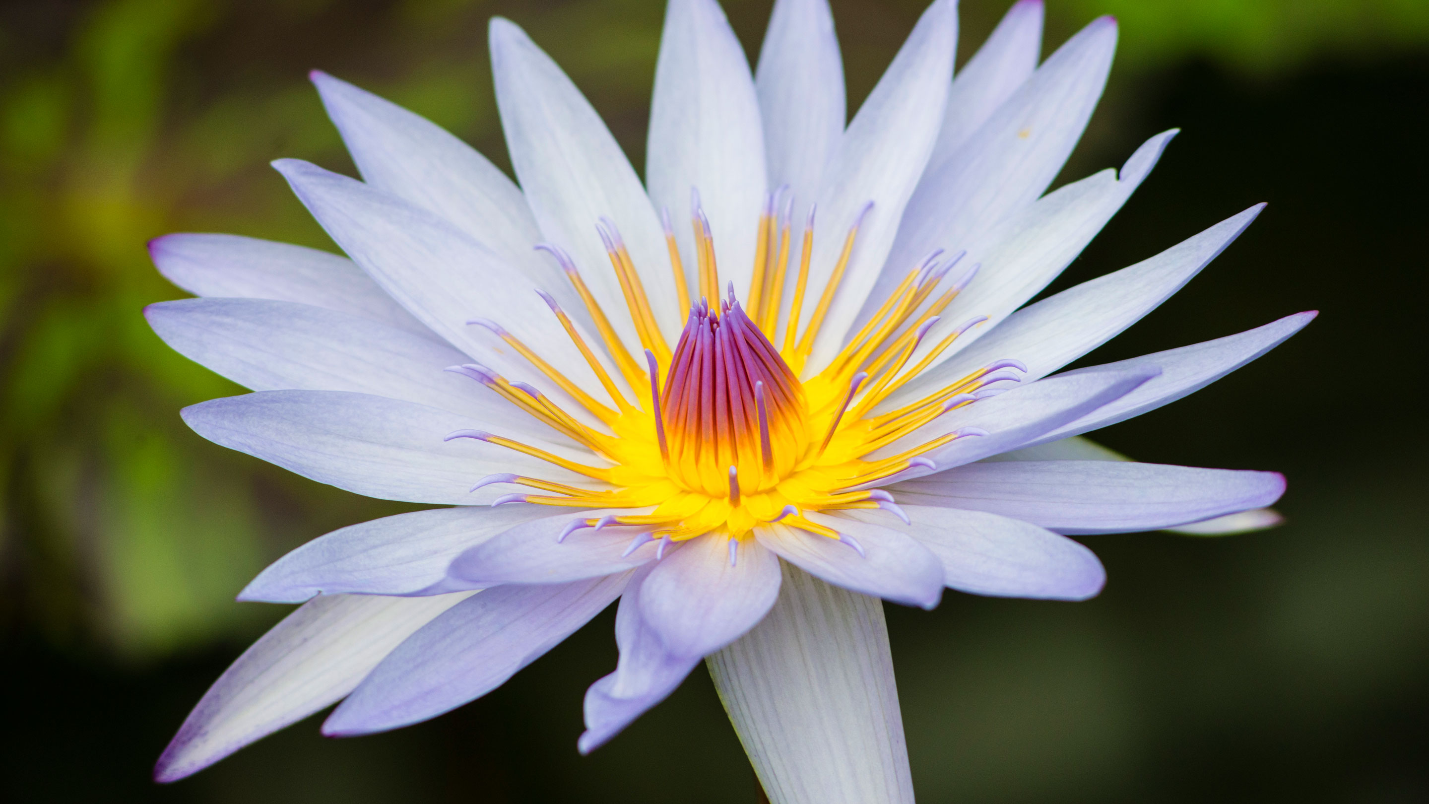 Close-up of a waterlily flower, Nymphaea 'Carlos Magdalena'