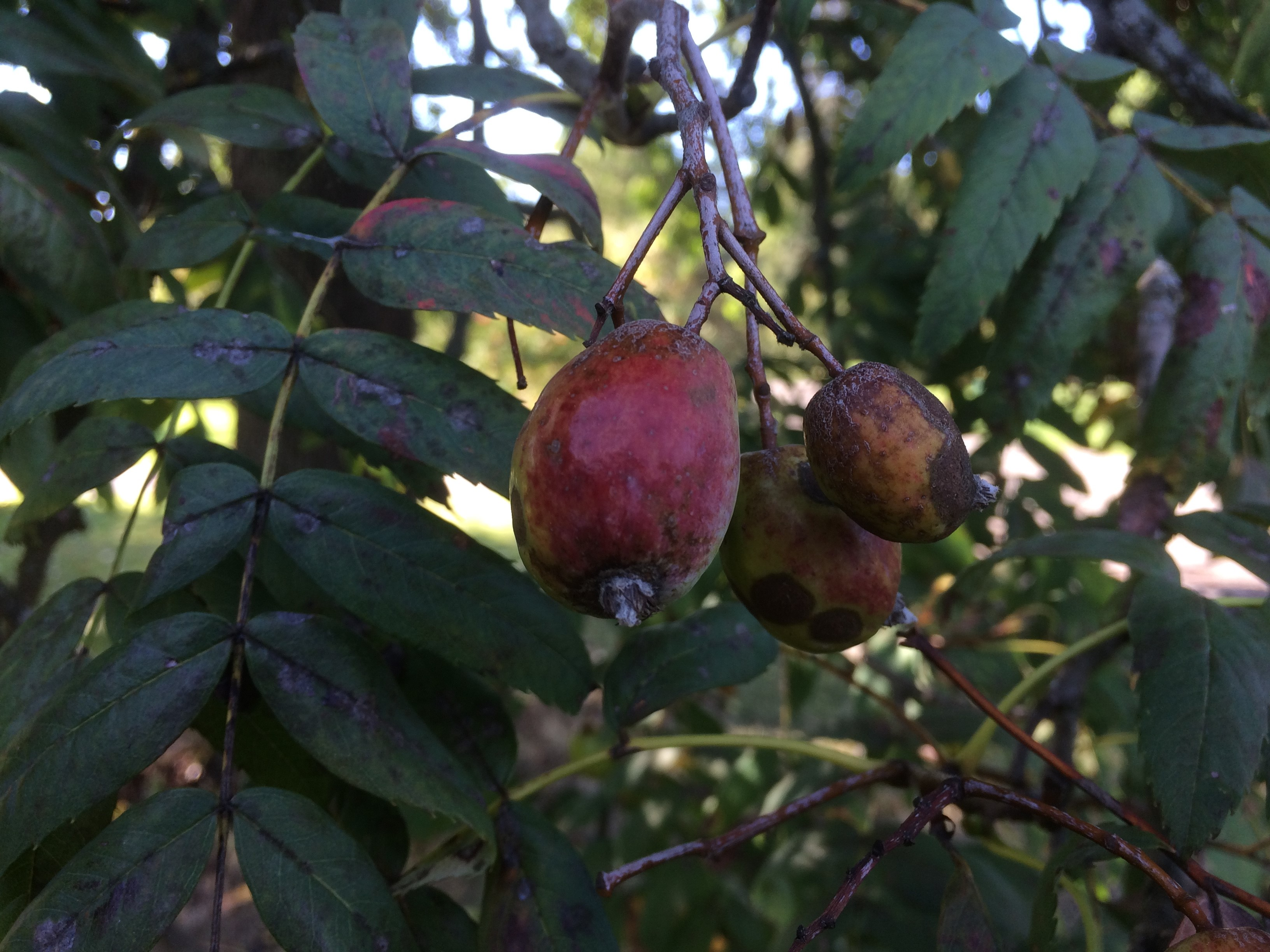 Fruits hanging from branch.