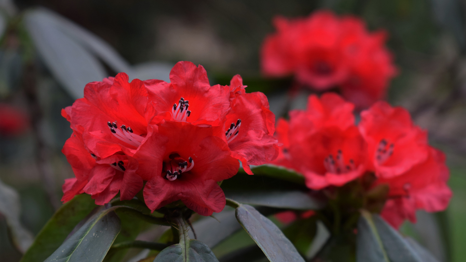 Rhododendrons in Westwood valley