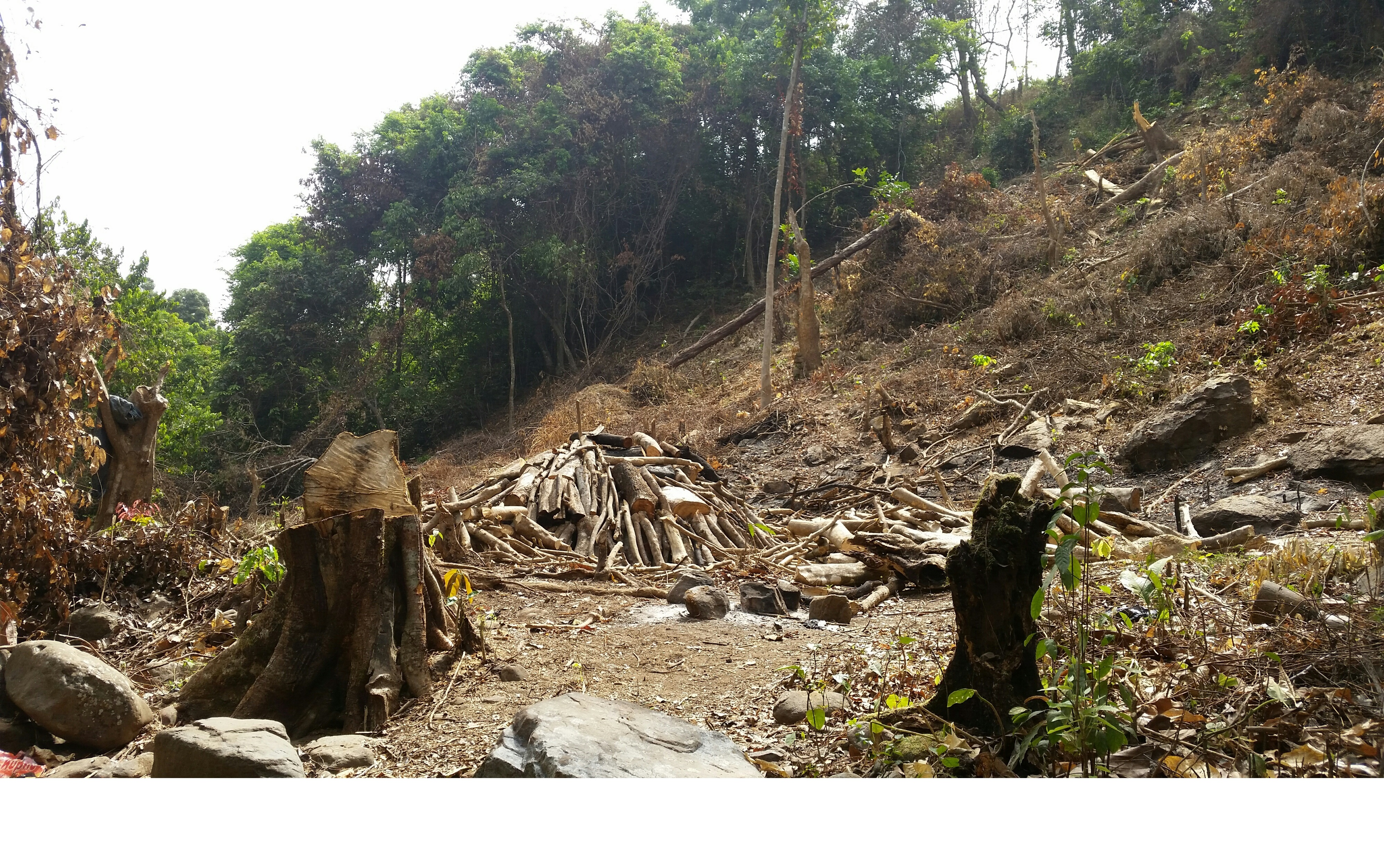 Tree-felling in the Gbalan Forest reserve, Guinea