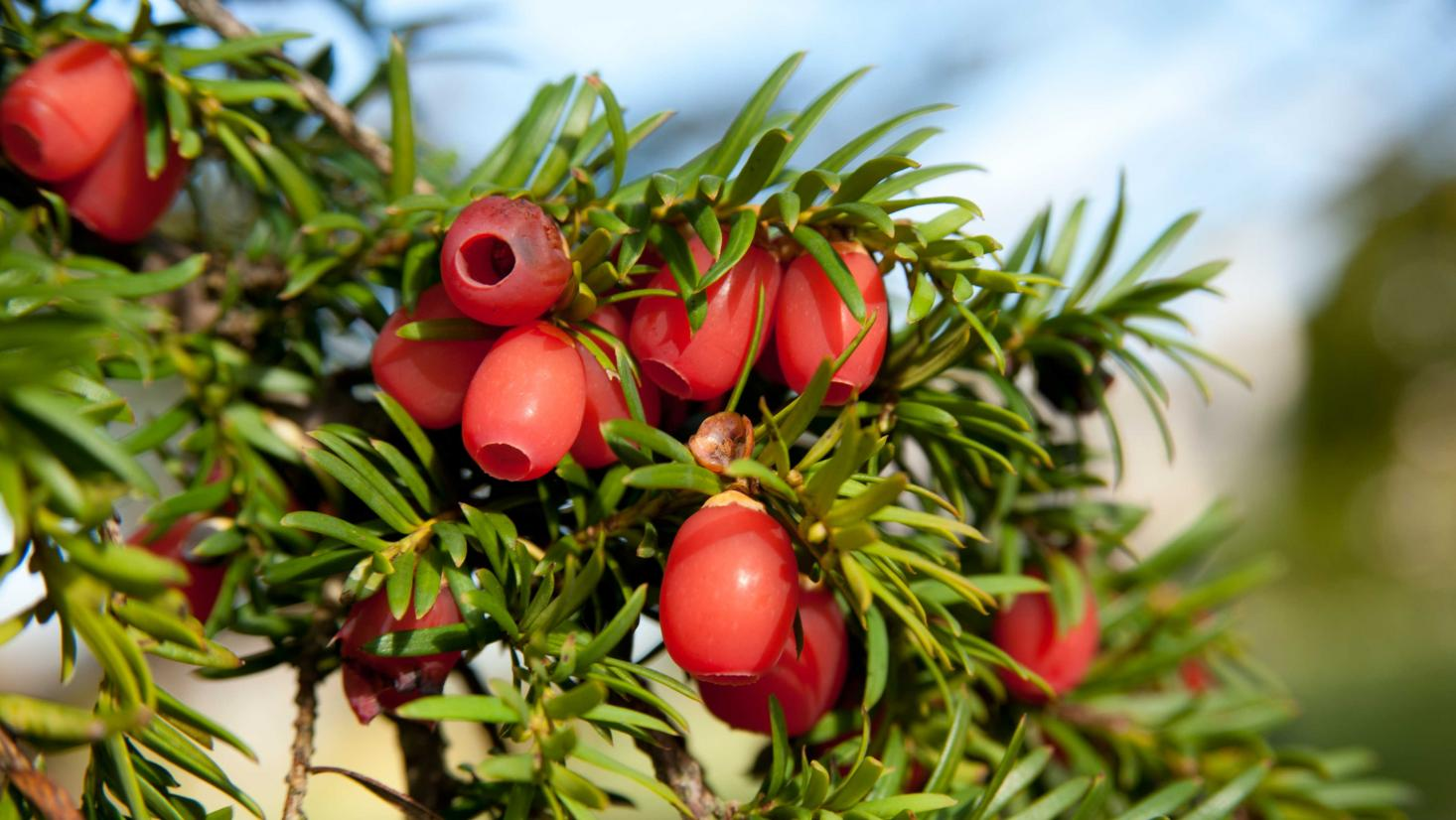 Red fruits on a tree