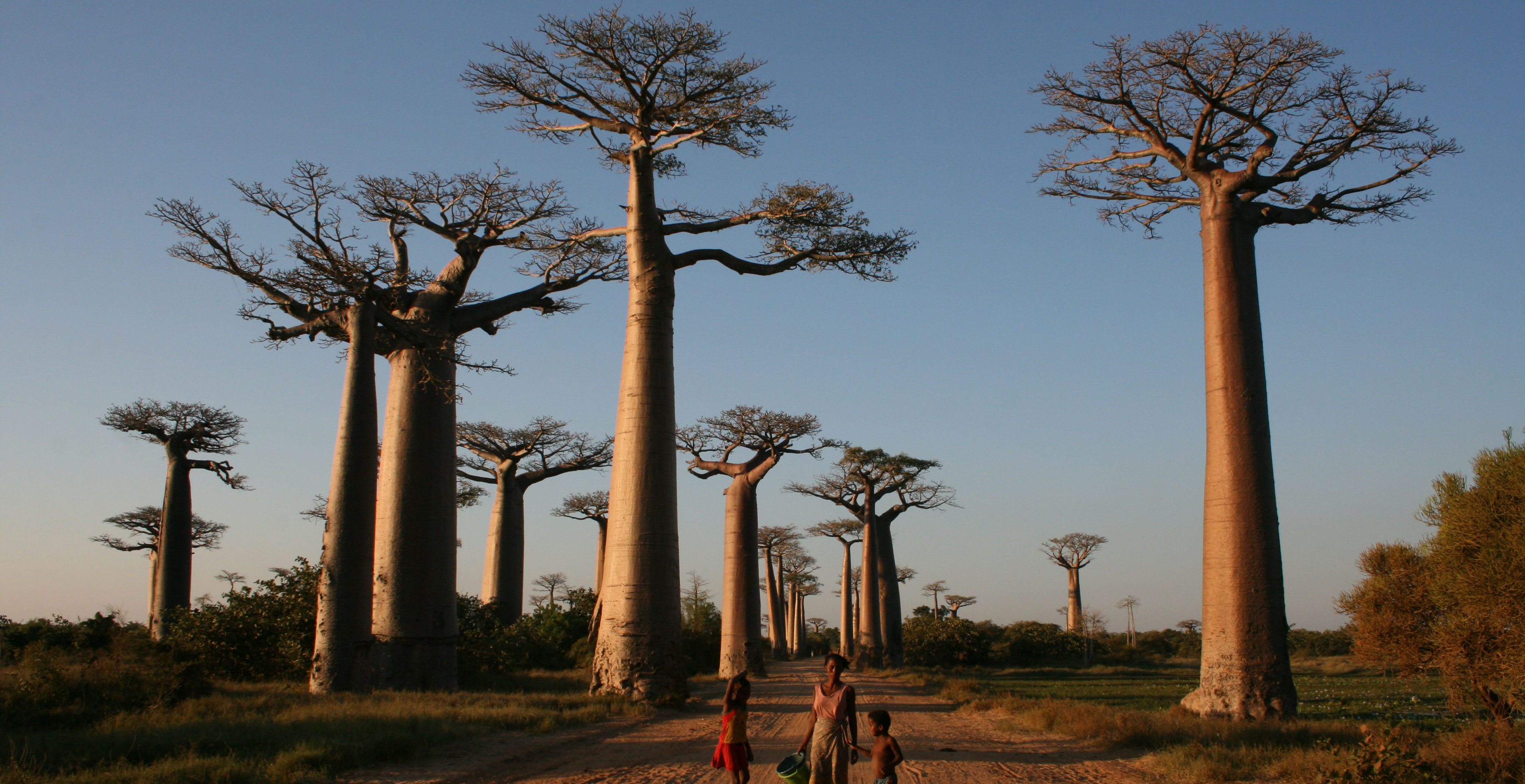 Family in Madagascar walking down a road lined with Baobab trees