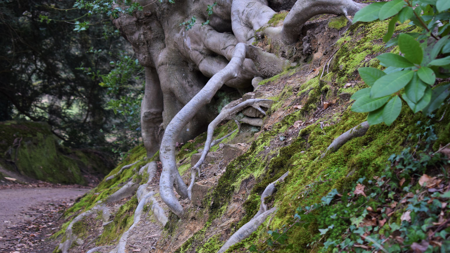 Tree roots, Rock Walk, Wakehurst