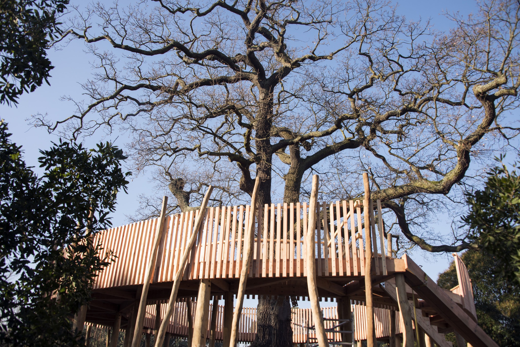 The treetop walkway that encompasses our oldest oak tree