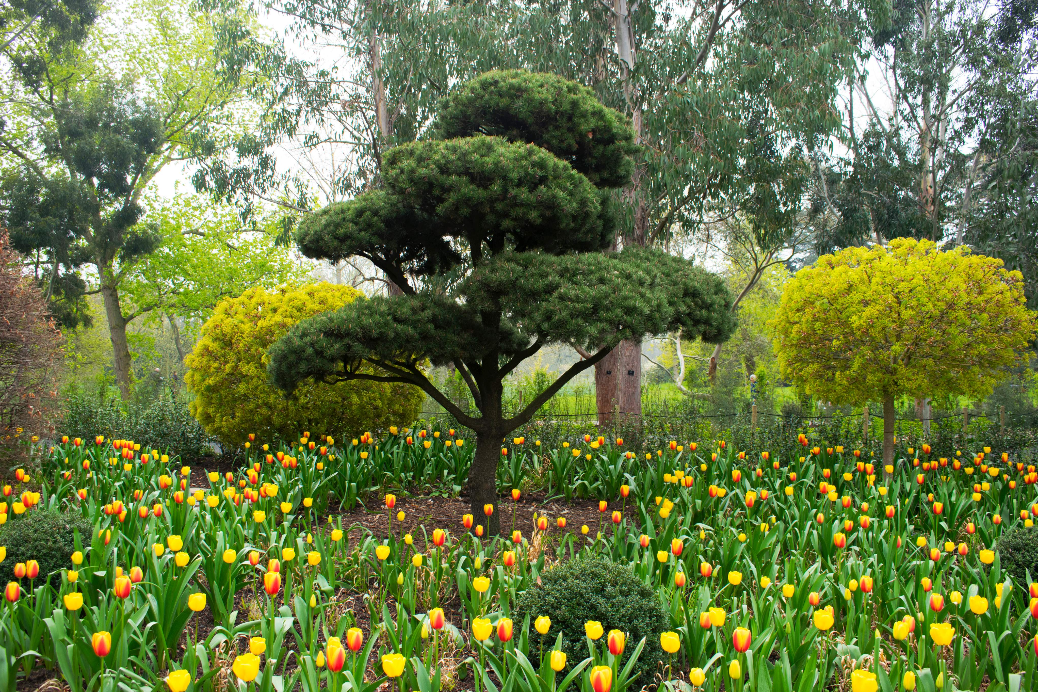 A tree stands in a garden of tulips