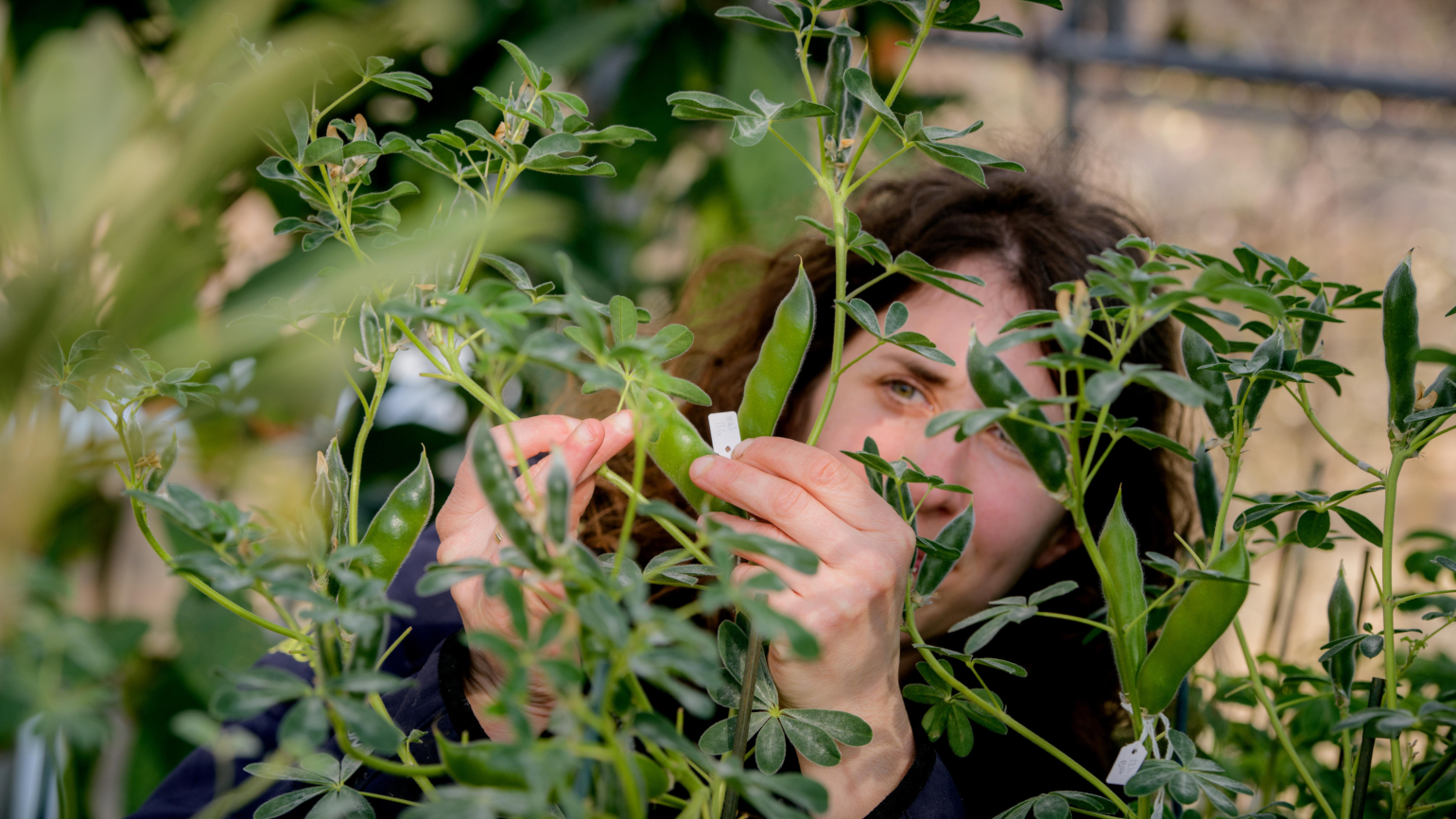 A staff member is checking a plant for ripeness