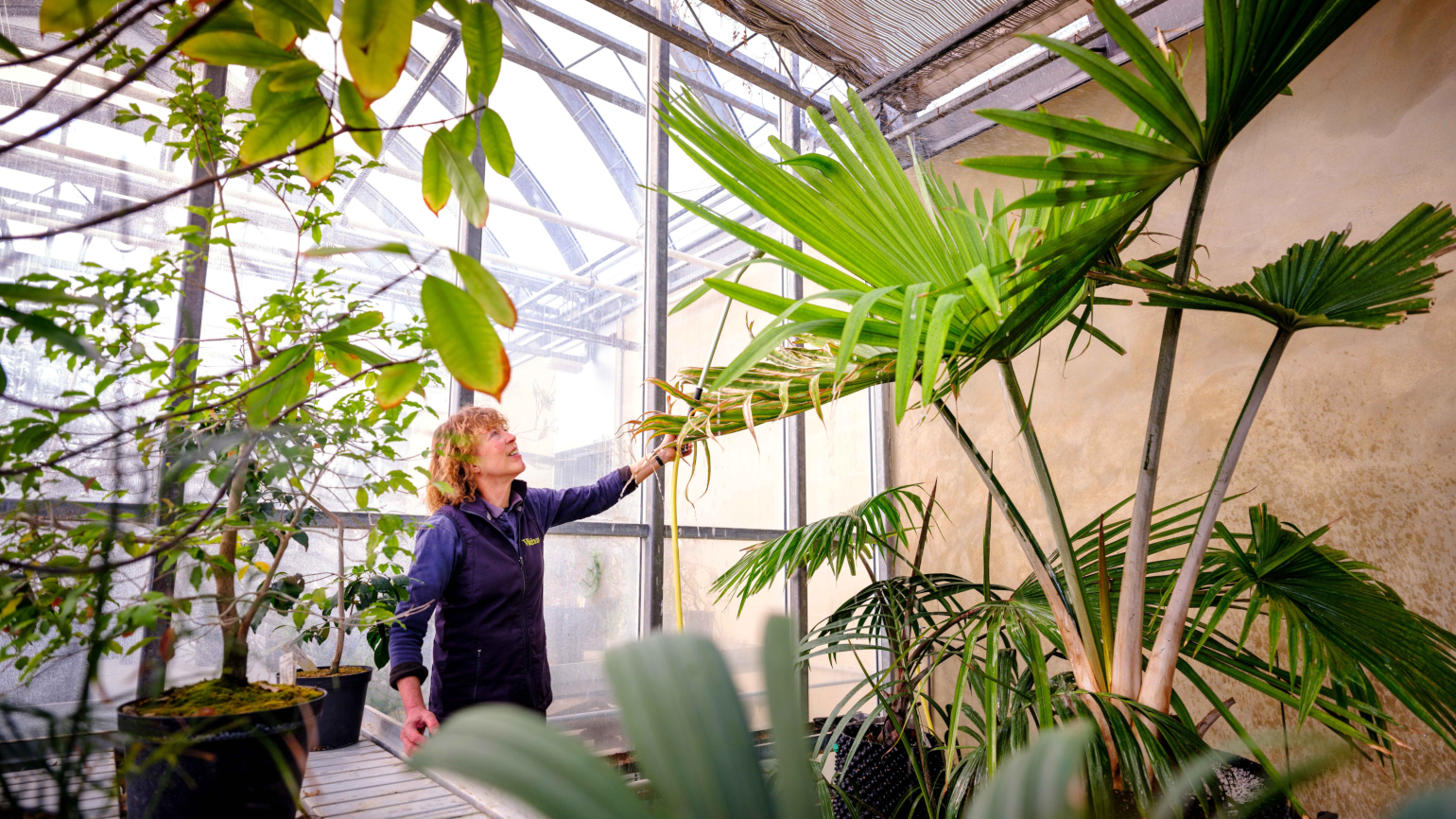 Botanical Horticulturist Propagator, Joanna Walmisley, watering the Suicide Palm