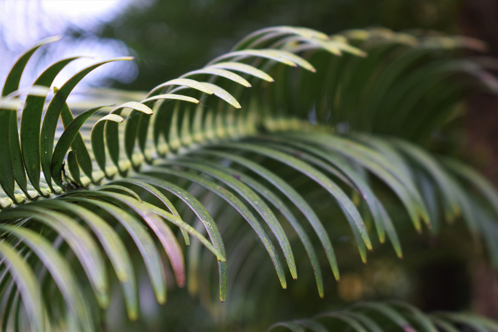 The branches of a Wollemi pine at Wakehurst