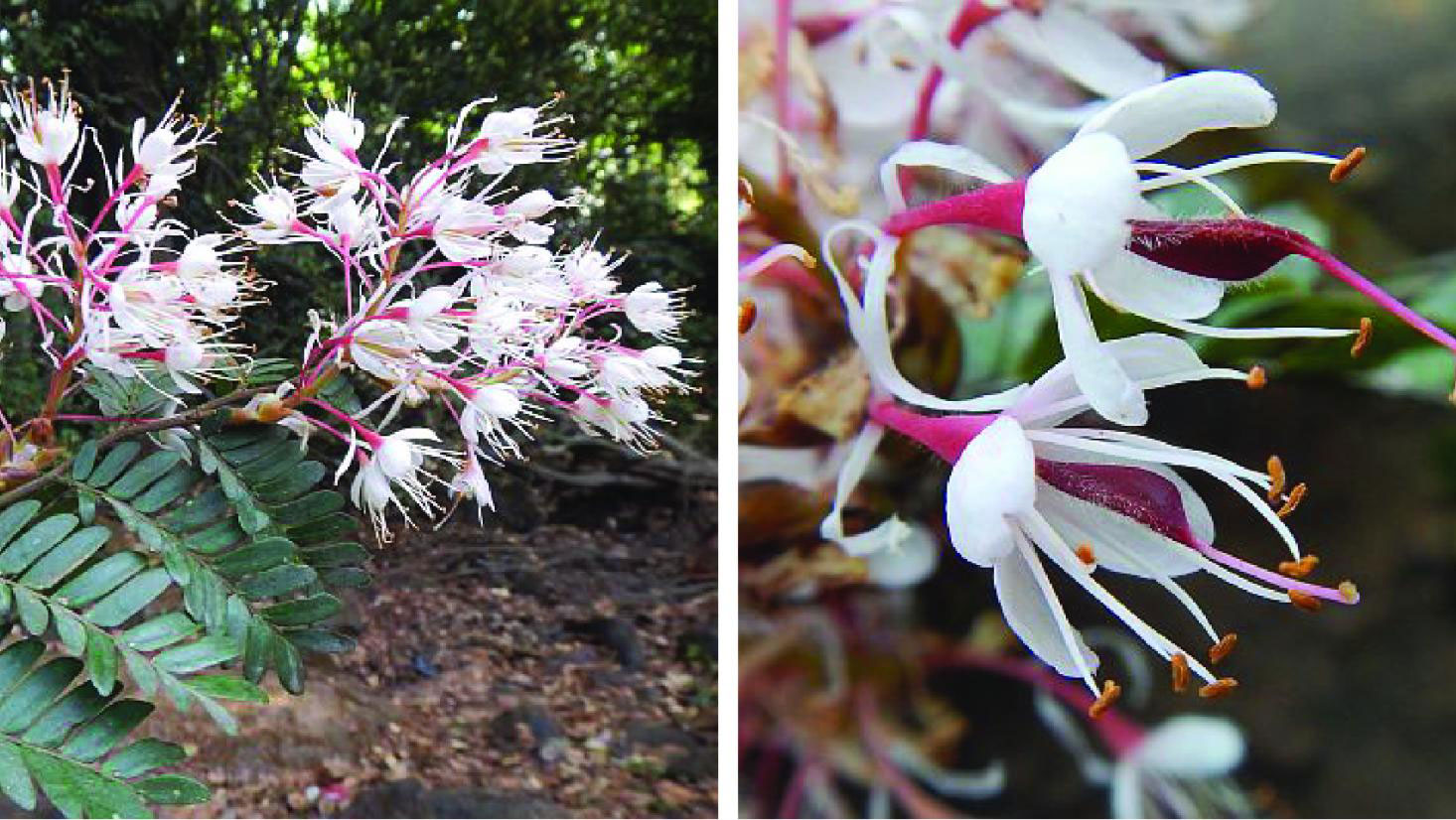 White and pink flowers of the new Talbotiella species
