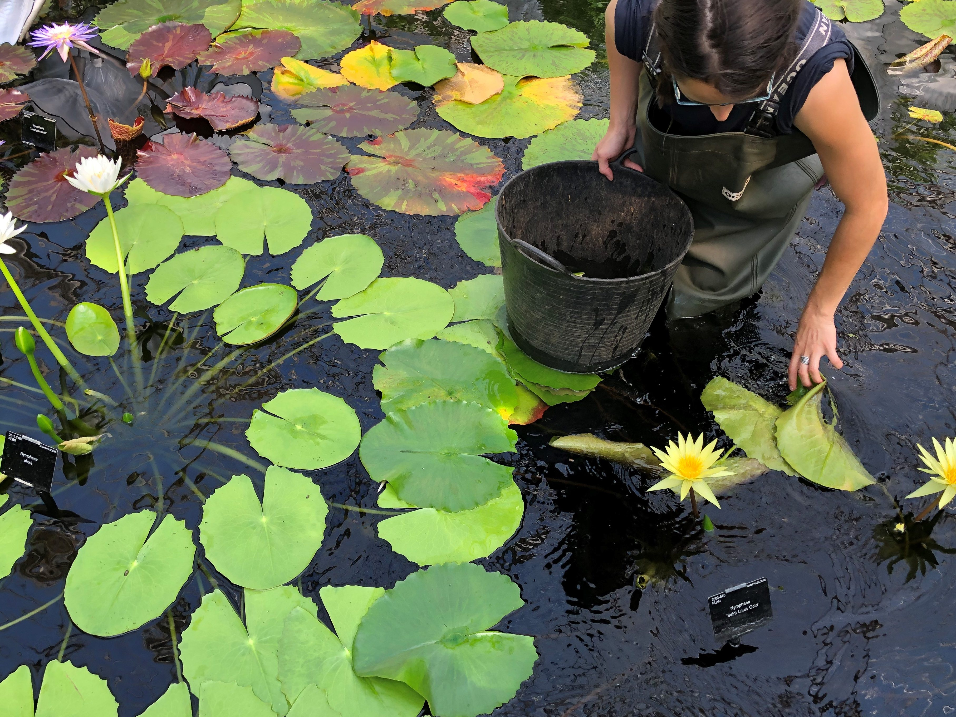 Solène Dequiret working in the Waterlily House pond