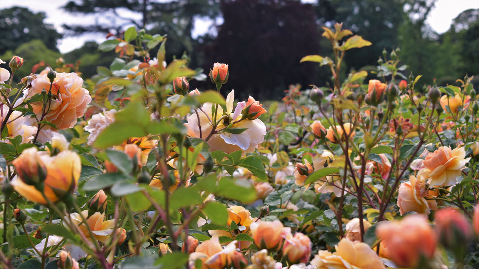 Colourful roses in the Rose Garden