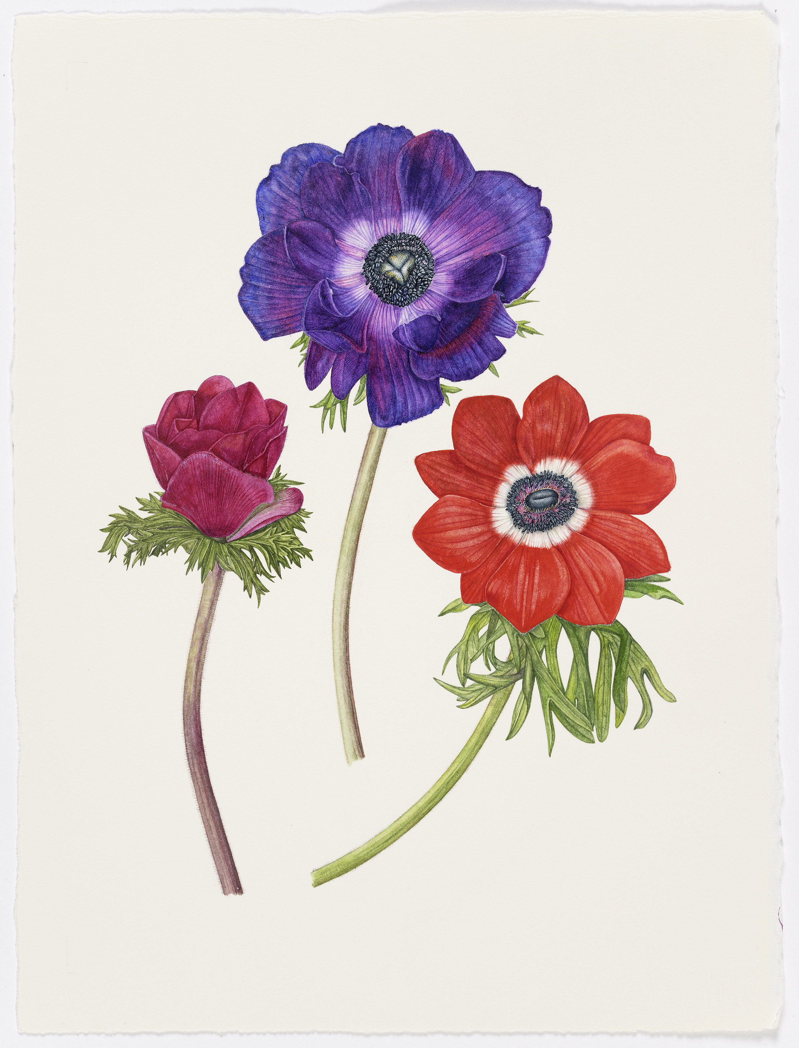 Painting of Anemones by Rachel Pedder-Smith