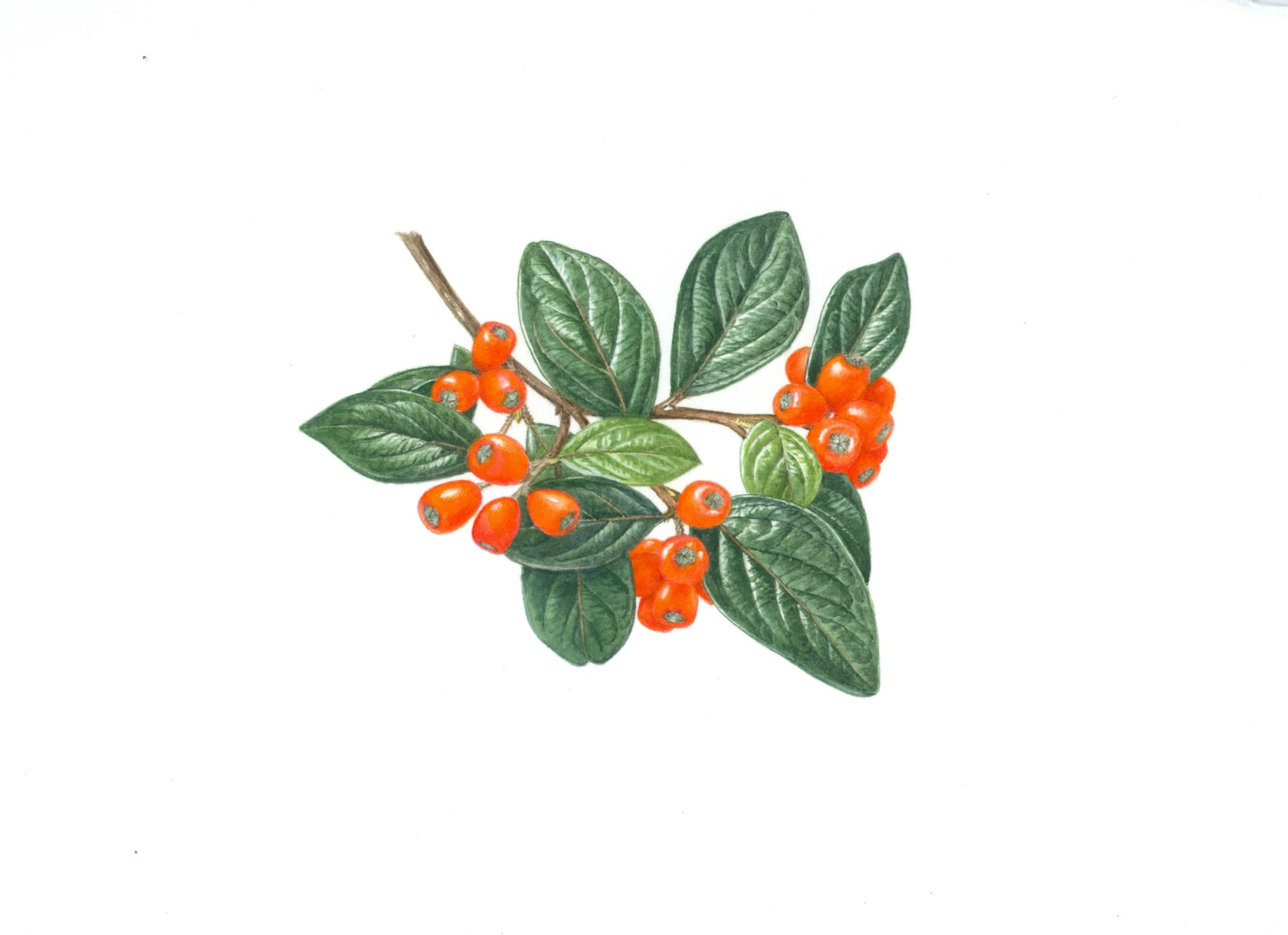 Illustration of Cotoneaster by Christabel King