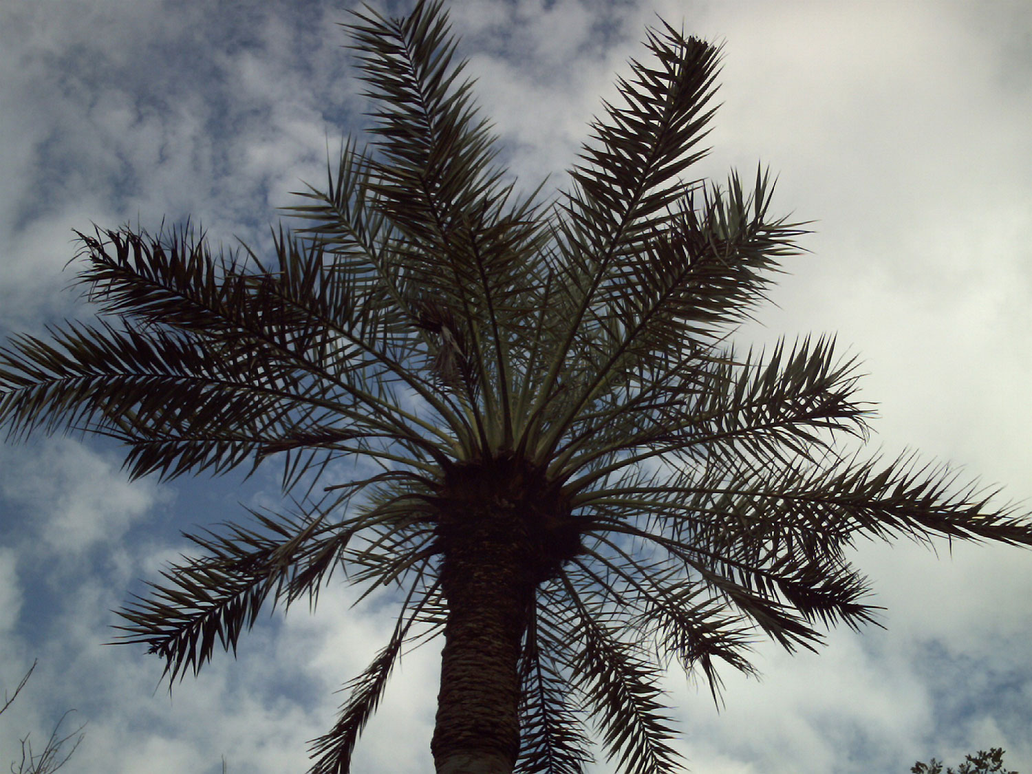 Looking up at a date palm