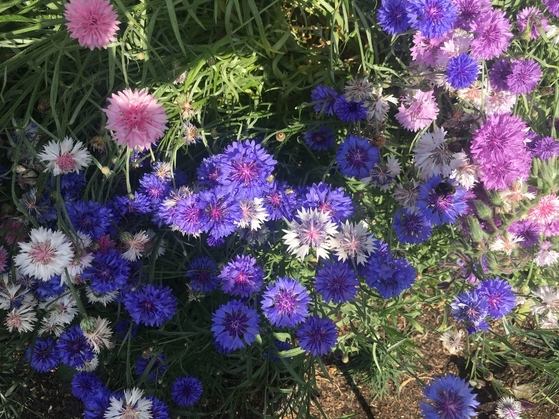 Cornflowers in the Kitchen Garden