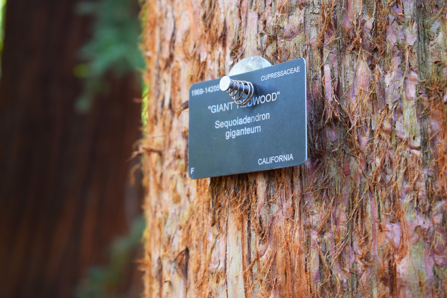 A redwood trunk with a sign reading 'giant redwood'
