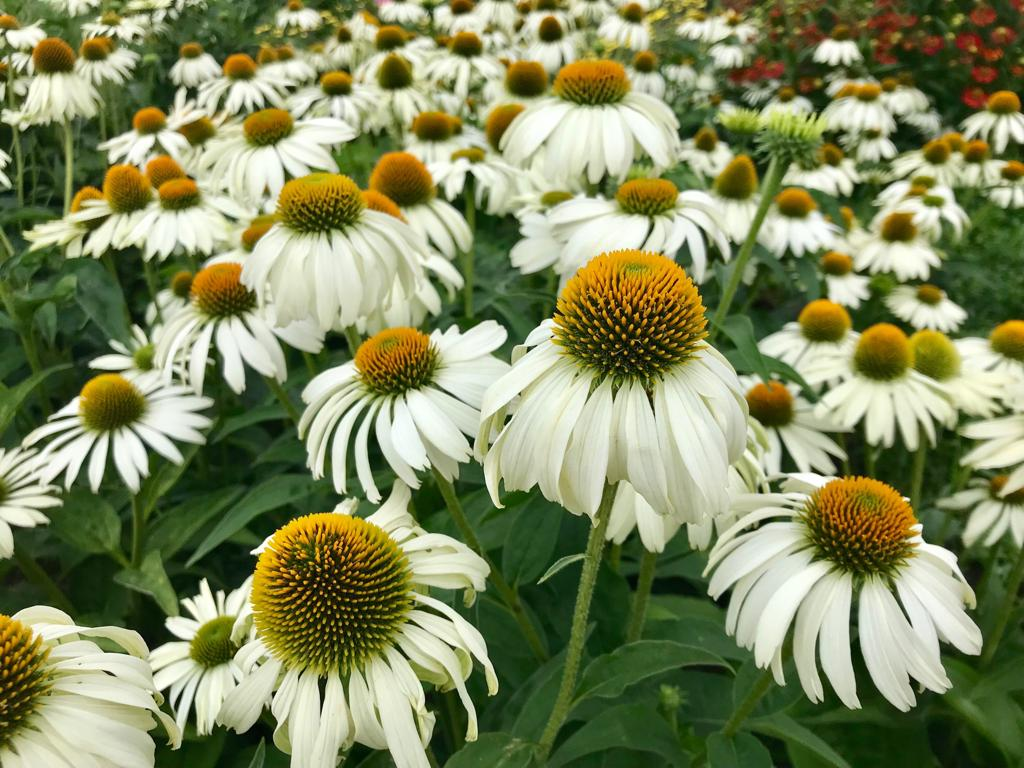 White swan (Echinacea purpurea) in the Evolution Garden